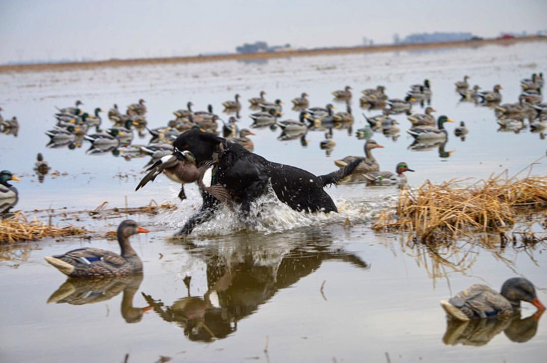 Black lab retrieving a duck while running through some shallows with duck decoys