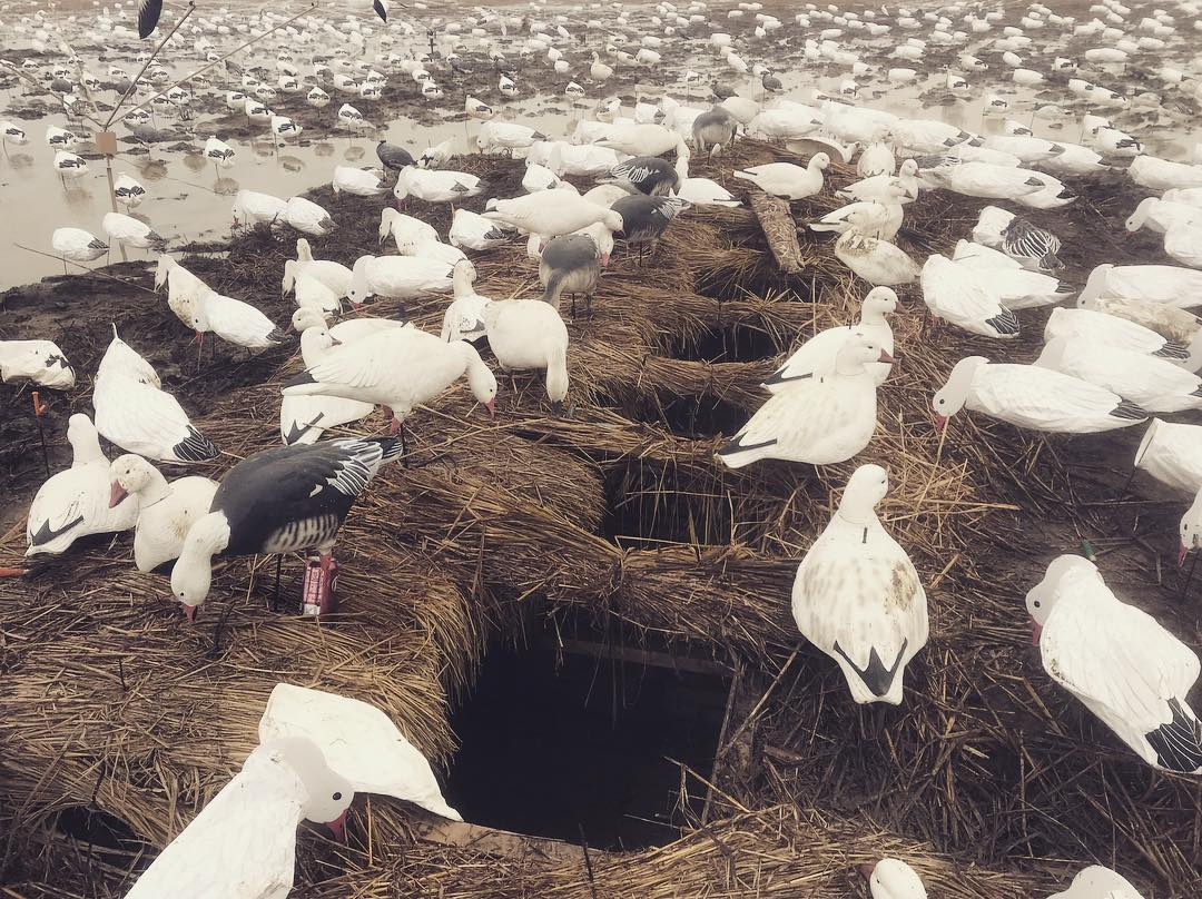 A large spread of goose decoys surrounds a few pit blinds