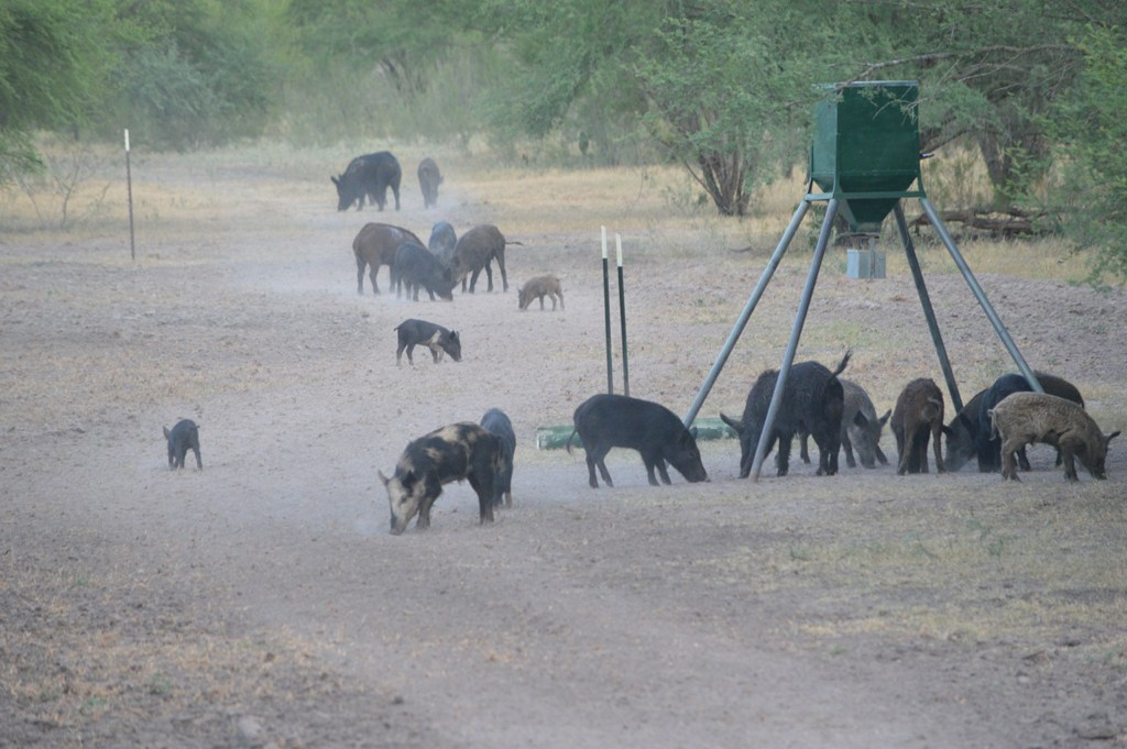 coleman-house-camp-hogjavelina-hunts-1556932090272461570