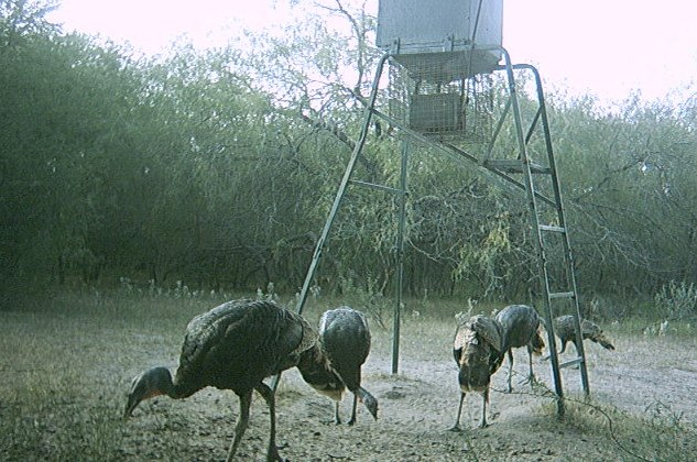 guided-turkey-with-hogs-fishing-155708292370480808