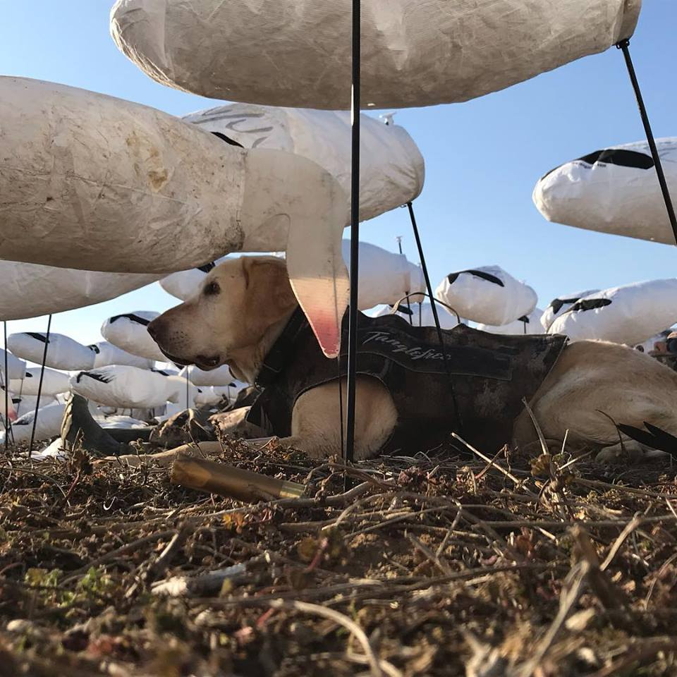snow-goose-conservation-hunt-1557453714541859733