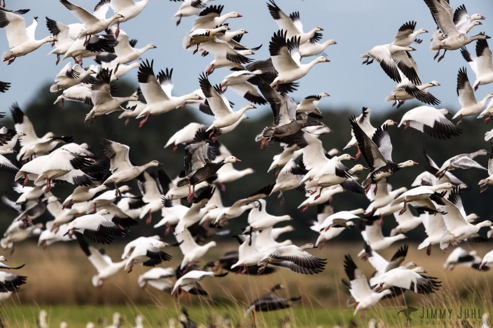 snow-goose-conservation-hunt-15574537701160673035