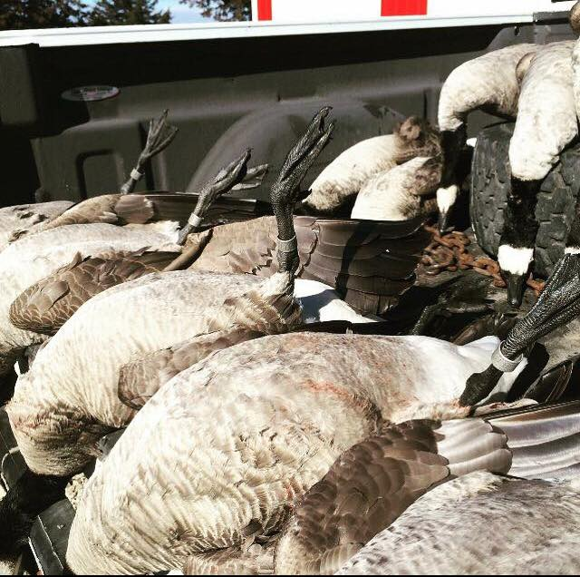a-days-fill-of-duck-geese-155750774196684744