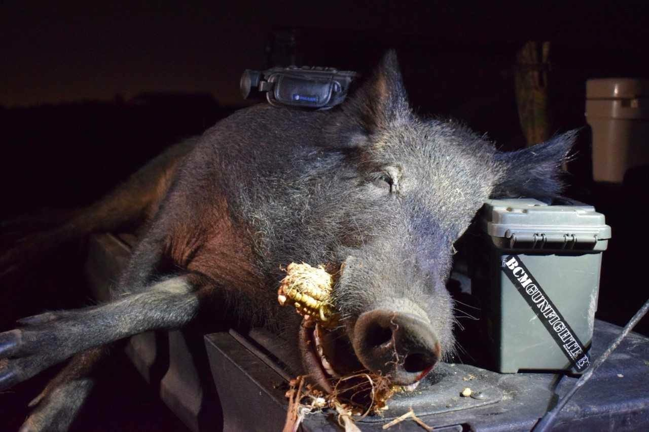 north-texas-thermal-hog-hunt--1557896109918571816