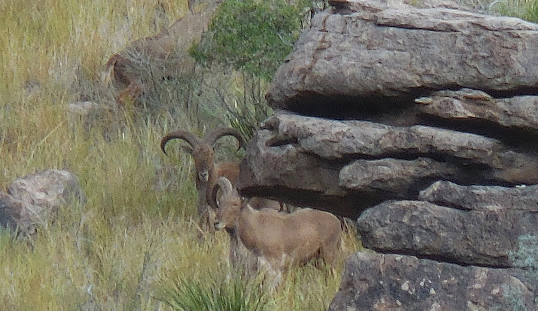 aoudad-central-texas--1558665105401283324