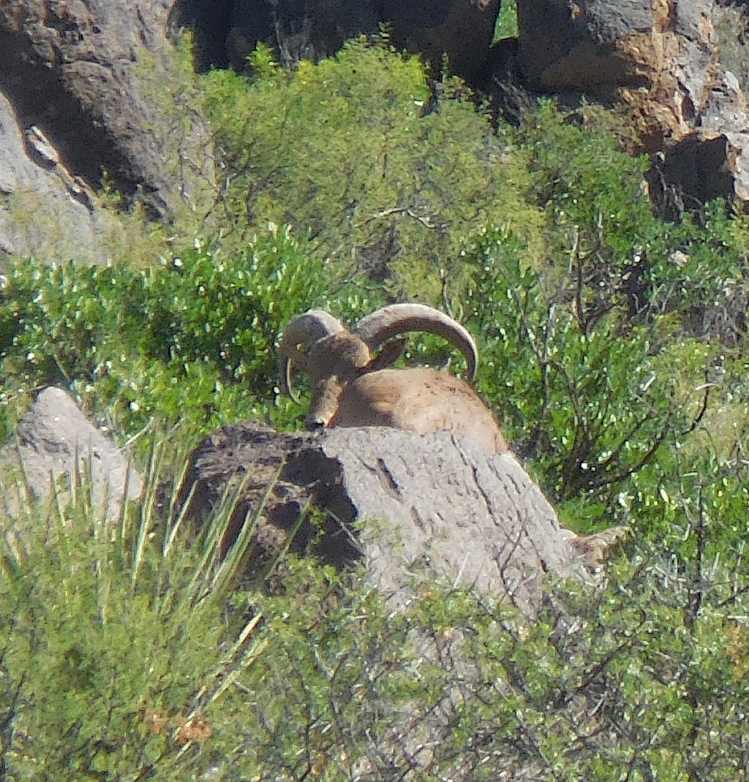 aoudad-central-texas--15586651171782975496