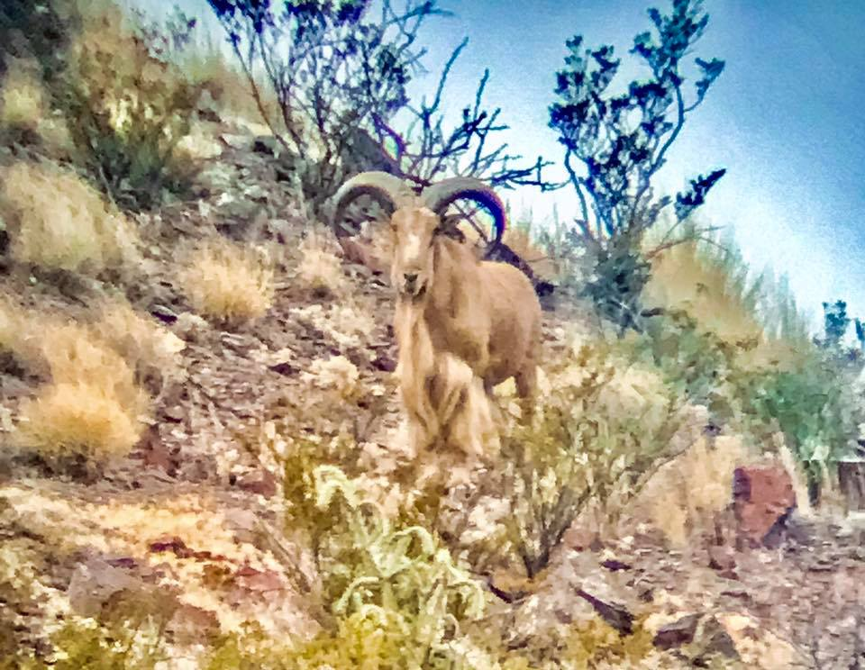 2x1-aoudad-sheep-hunt-1559604542978386021