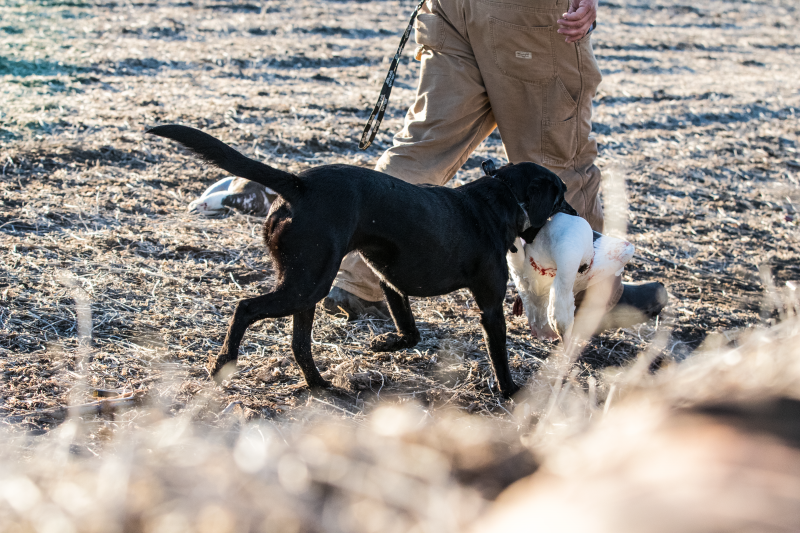 late-season-goose-hunt-wlodging-15625479831550303543