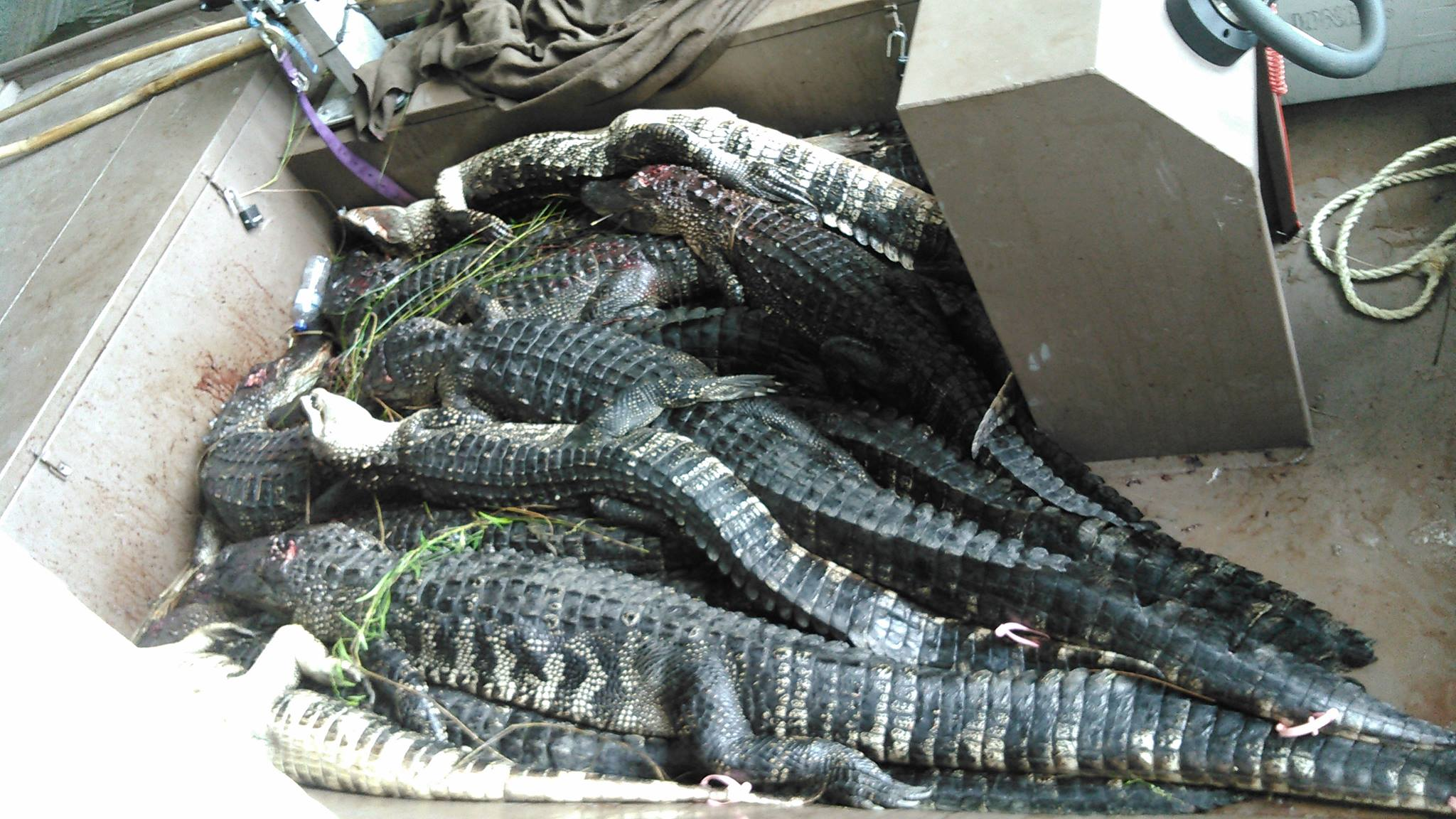 alligator-hunt-15651301681374474885