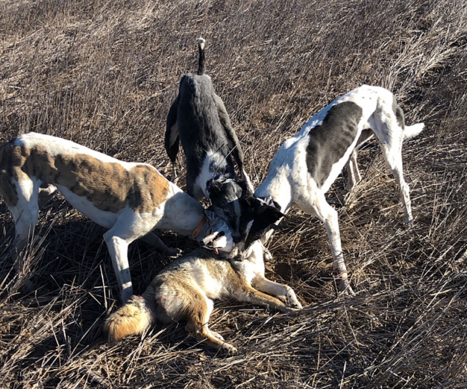 coyote-hunting-with-greyhounds-15653170051281166030