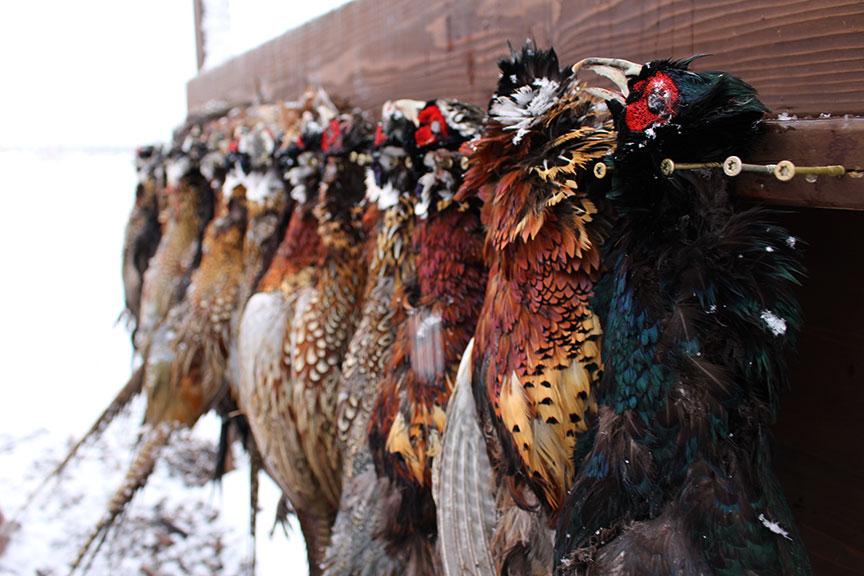 1-12-day-2night-unlimited-pheasant-hunt-1610398915117366381