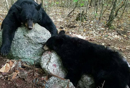 guided-bear-trapping-6-day-trip-10152837781558206580