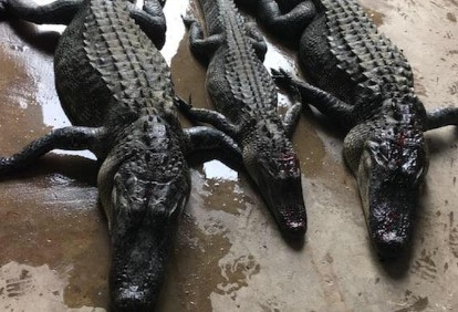 alligator-hunt-12726775511561005984