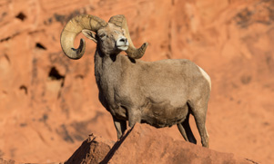 big horn sheep standing on rock