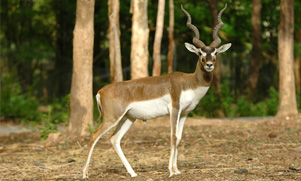 black-buck-1552844213_species_blackbuck
