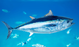 50-mile-tuna-trip-1552845384_species_bluefintuna