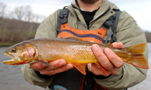 cutthroat trout being held by angler while fishing