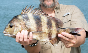 louisiana-redfish-1552852673_species_sheepshead