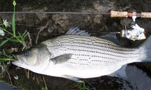 hybrid striped bass laying on the shore next to a fishing pole