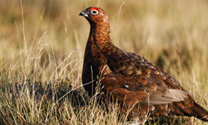maine-upland-bird-hunting-1552853364_species_grouse