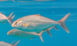 amberjack fish swimming in the water