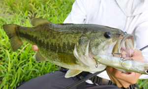 Largemouth Bass with a white lure hanging out of it mouth