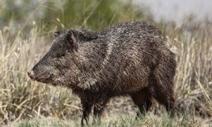 javelina standing in a field