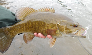 Smallmouth Bass being held by an angler with a white lure hanging out of it's mouth