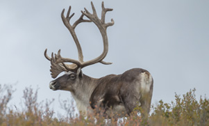caribou spotted standing in a field while caribou hunting