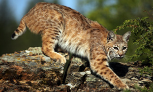 whitetail-hunt--1552855092_species_bobcat