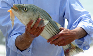 Striped Bass being held by an angler with hook and bait hanging out of it's mouth
