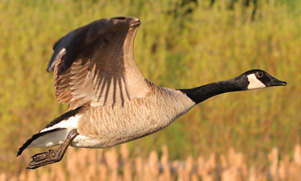 Canadian Goose flying during a Canada Goose hunt