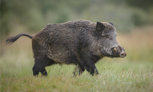 unlimited-hog-&-predator-hunting--1552855388_species_hog