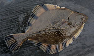 flounder fish out of the water