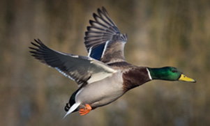 mallard duck flying in air