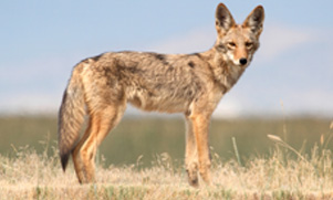 unlimited-hog-&-predator-hunting--1552855502_species_coyote