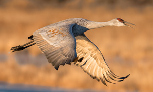 sandhill crane fyling through the sky