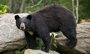 black-bear-1552855625_species_blackbear