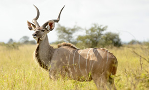 kudu---weekday-hunt-1552856037_species_kudu