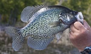 Crappie with an anglers thumb in its mouth being held up for the camera