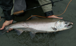 An angler holds a Salmon on its side in the water