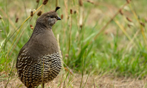 unguided-quail-hunt-1552856102_species_quail