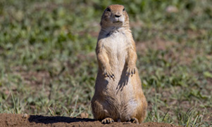 A prairie dog stands tall in a field of green grass