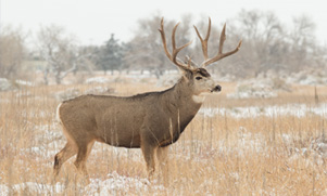 A huge Mule Deer buck standing in a field scattered with snow during winter