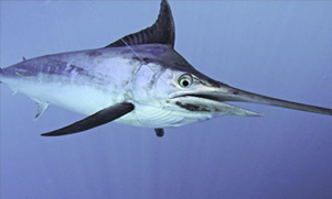 50-mile-tuna-trip-1552856202_species_marlin