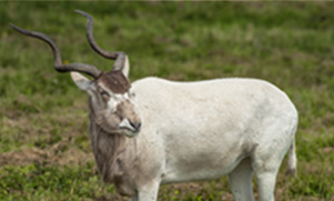 a large white Addax with tall horns standing in a field of green grass