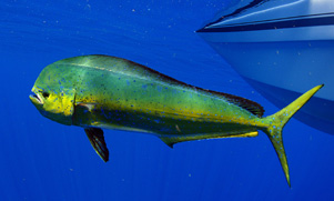 50-mile-tuna-trip-1552856240_species_mahimahi