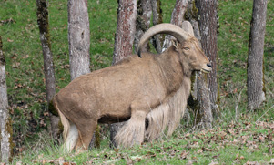 A large Aoudad standing proudly on a grassy hill