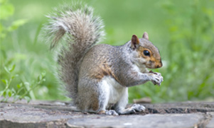 A squirrel sits on a log eating a acorn with its tail curled up