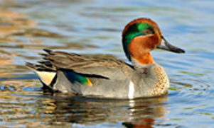 A teal with green feathers swimming in water